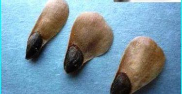 วิธีการปลูกต้นสนสีน้ำเงิน: การเจริญเติบโตของเมล็ดและปักชำ
