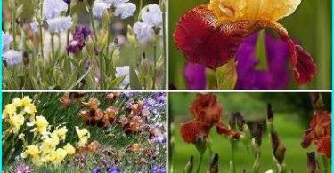 การปลูกดอกไอริสกระเปาะ + การเพาะปลูกและการดูแลรักษา