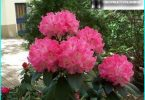 rhododendrons: ปลูกการเพาะปลูกและการบำรุงรักษาทั้งหมดที่เกี่ยวกับการทำสำเนา