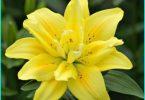 ปลูกดอกลิลลี่ในฤดูใบไม้ผลิในพื้นดิน: คำแนะนำของสวนที่มีประสบการณ์