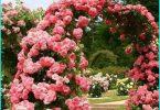 การปลูกและการเจริญเติบโตของดอกกุหลาบในฤดูใบไม้ผลิในไซบีเรีย + เลือกพันธุ์บึกบึน