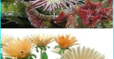 ตกแต่งสวนด้วยความช่วยเหลือของหญ้าคริสตัล (ที่ mesembryanthemum และ Doroteantus)